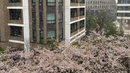 Сакура под снегом: вТокио впервые задесять лет вконце марта выпал снег