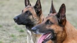 «Неправы обе стороны»: руководитель дрессировочного центра осхватке собак