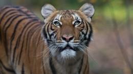 Обитающая внью-йоркском зоопарке тигрица заразилась коронавирусом