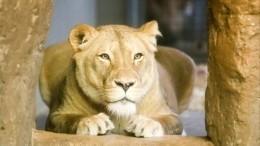 Девятимесячную львицу спасают отнерадивого хозяина вПетербурге