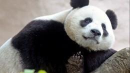 Панда вМосковском зоопарке затосковала без посетителей