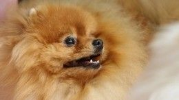 «Без права выгула»: собаку схозяином поместили накарантин вИркутской области