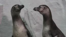Пингвины прогулялись поопустевшим залам океанариума вСамаре