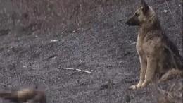Русский Хатико: пес неделю охраняет сбитую машиной подругу