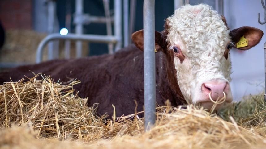 Быкаут: шотландский бык почесался остолб иоставил без света 800 домов