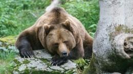 Момент нападения медведя напрохожего вЯрославле попал навидео