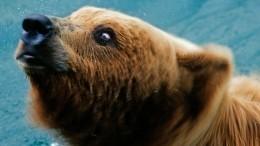 Видео: Медведь набросился нажителя Ярославля ипрокусил ему бедро