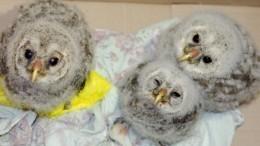 Неравнодушные жители Кемеровской области спасли сову иотнесли еенарентген— видео