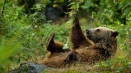 «Когда нашел тосамое дерево!»— приморский медведь-почесун покорил соцсети