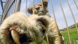 Путин пообещал разобраться вситуации спострадавшим львенком изДагестана