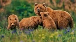 Мама-медведица приучает косолапую малышню лазать подеревьям— видео