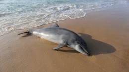 Около 300 дельфинов погибли запоследние месяцы наЧерном море