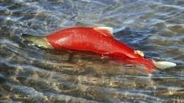 Рухнувший мост вМурманске грозит сокращением популяции лосося