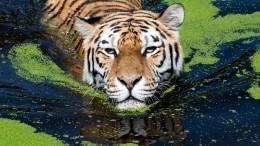 Опубликованы редкие кадры амурских тигров наводопое вПриморье