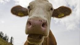 Видео: Отец мэра Нефтекамска возмутил жителей, распугав стадо коров навертолете
