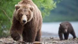 Голодный медведь держит встрахе целый город вМагаданской области