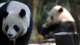 Видео: панды московского зоопарка устроили веселые игрища вчесть дня рождения