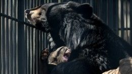 Кадры иззаповедника, где медведи разорвали ребенка— видео