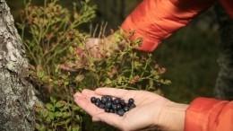 «Тихая охота»: Эксперт предупредил обопасности сбора лесных ягод