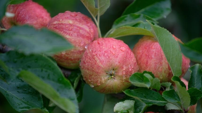 Осторожно, яблоко! Почему популярный фрукт полезен далеко невсем