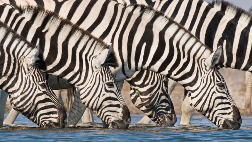 Британские ученые разгадали секрет полосок зебры