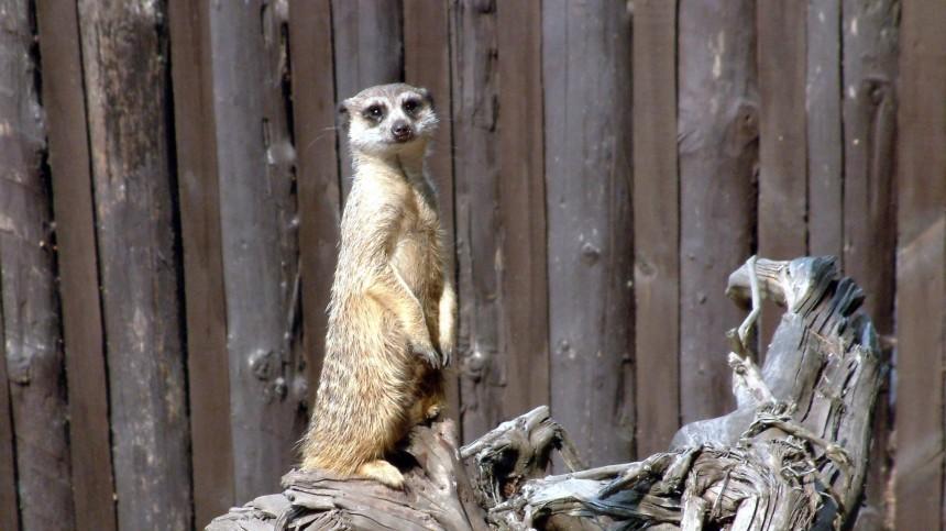 Как заманить суриката навесы? Лондонский зоопарк проводит необычную процедуру