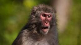 Битва заурожай: пожилые японки дали отпор обезьянам, ворующим овощи сгрядок