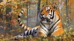 Полиция задержала подозреваемых вубийстве тигра Павлика вАмурской области