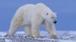 Выживший. Якутская версия: оленевод смог спастись после нападения медведя