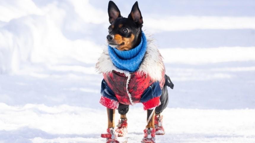 Модно итепло: как защитить свою собаку отморозов