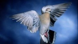 Житель Китая купил скоростного почтового голубя за1,6 миллионов евро