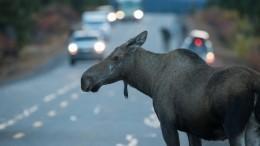 Осторожно, «лижущие» лоси! ВКанаде появились необычные дорожные знаки