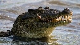 Видео: Житель Флориды голыми руками залез впасть каллигатору ивызволил щенка