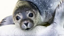Побережье Каспийского моря усыпано телами краснокнижных тюленей