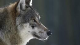 Охота нахищников: Голодные волки наводят ужас нажителей Сибири