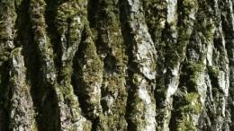 Страж Ольхона: эксперты назвали возраст самого старого дерева вРоссии