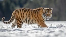 Врачи вПриморье почастям собрали кости раненного амурского тигренка
