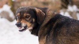 Война сживотными: Беспризорные собаки наводят ужас нажителей регионов