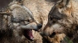 Увлеченные погоней волки едва неостановили работу станции ТОвКарелии
