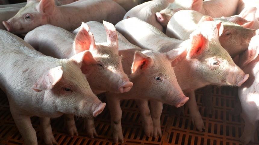 Германия вистерике: вРФрешили отказаться отимпорта свинины