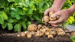 Юрист разъяснил, кому может грозить штраф завыращивание картофеля