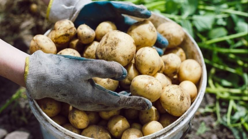 «Как предупреждение»: юрист овозможных штрафах завыращивание картофеля вРФ