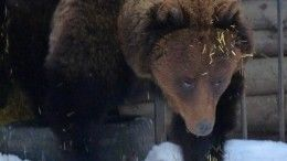 ВОмске объявили конкурс налучшую колыбельную для медведицы Сони