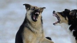 Стаи бродячих собак нападают нажителей Улан-Удэ
