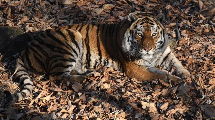 Амурского тигра насмерть сбил автомобиль вХабаровском крае