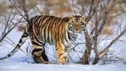 Тигр вПриморье загнал испуганных охотников надерево— видео