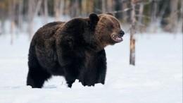 Видео: медведь устроил гонки залыжником натрассе вгорах Румынии