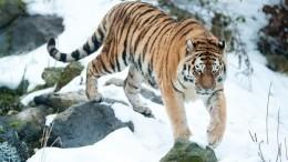 Водитель наДальнем Востоке загонял подороге амурского тигренка