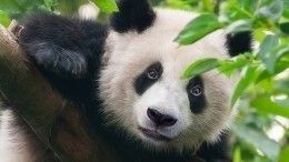 Видео: Малыш панды вЮжной Корее нелюбит оставаться водиночестве