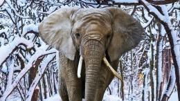 Теплолюбивые слоны пришли ввосторг отвыпавшего снега вСША